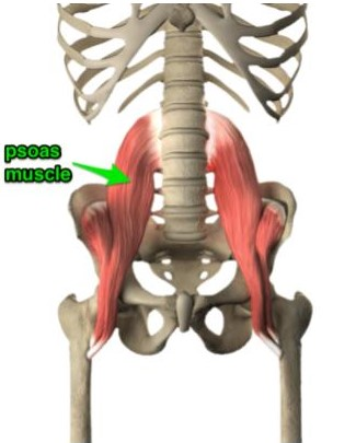 diagram of the psoas muscle